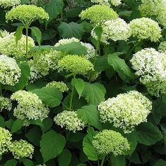 Hydrangea arborescens 'Annabelle' - don't cut it too hard, or they will get hugh flowers and fall over in the first rain. Only cut flowers or up to 1/3 of the plant. Cut in spring.