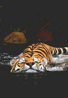 Amazing wildlife - Tiger and water photo Beautiful Cats, Animals Beautiful, Beautiful Pictures, Big Cats, Cats And Kittens, Funny Animals, Cute Animals, Baby Animals, Photo Animaliere