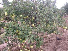 omenapuu Antonovka