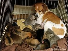 Dog mothering kittens find out what she does when someone picks them up. - FreeStuff.Website