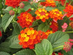 Luscious Citrus Blend Lantana.  Heat lover that combines orange, red and yellow on a mounding plant that grows 3 feet high and 3 feet wide.