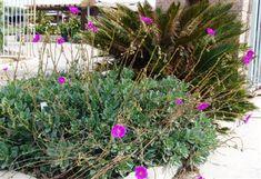 CALANDRINIA spectabilis (Calandrinia grandiflora) | Rock Purslane