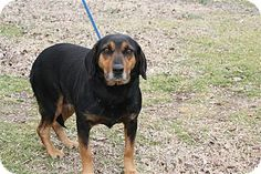 #ARKANSAS ~ Sarah ID 18071 is a Spayed 5-7yo Beagle mix who's quiet, likes other dogs & is very friendly. She's V gentle & passed her behavioral assessment with flying colors! She'd make a wonderful family pet & is in #urgent need of a loving #adopter / #rescue at CONWAY ANIMAL WELFARE UNIT  4550 Hwy 64 W  #Conway AR 72034  brittney.wright@cityofconway.org  Ph 501-450-6160 ext1