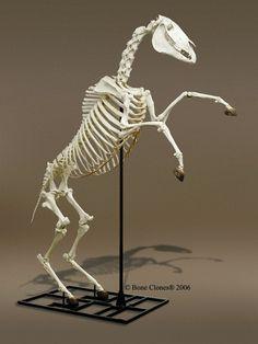 Rearing horse skeleton