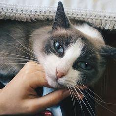 Reposting @drisbem: 😻 . . . #vscophotography #catstagram #cats #vscocats #pets #photooftheday #dailypic #vscocamportugal #vscogood #vsco #cat #catsofinstagram #catlife #pet #beautiful