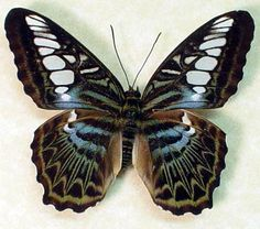 Blue Clipper  Parthenos sylvia