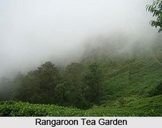 """Rangaroon is a scenic tea garden in Darjeeling. The garden produces some of the world's best quality tea and is notable for its famous """"Rangaroon"""" tea. For more visit the page. #hillstation #teagarden #travelindia #tourism"""