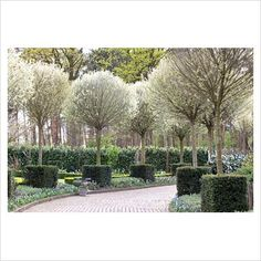 I love these crazy trees Tree lined drive with Prunus fruticosa 'Globosa' - GAP Photos - Specialising in horticultural photography