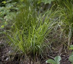 "Carex deweyana - Dewey's sedge FAC - 24"", part-shade"