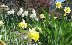 Daffodils, 13 Apr 2012