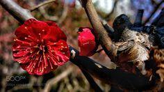 Red Prumusmume. by love365lsc