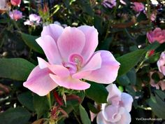 My Favorite Knock Out – 'Blushing Knock Out' Rose | The Redneck Rosarian