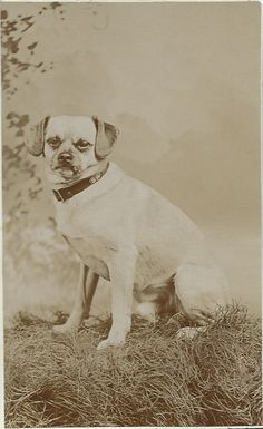 c.1880 cdv of pug. No photographer or dog identification. From bendale collection