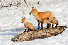 Mother fox and her kits