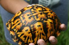 Box turtle for sale online including baby box turtles for sale, eastern box turtle for sale, 3 toed box turtles for sale near me, ornate florida box turtle. Tortoise Care, Tortoise Turtle, Box Turtles For Sale, Baby Tortoise For Sale, Reptile Lights, Turtle Store, Freshwater Turtles, Eastern Box Turtle, Kawaii Turtle