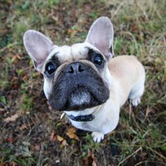 Ro. 17 month Frenchie. Very calm dog.