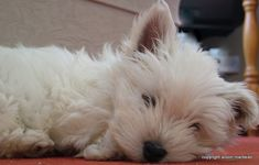 A Day in the Life of a West Highland White Terrier (Westie) Puppy Care, Dog Care, Small Dog Breeds, Small Dogs, Dog Hotel, Tiny Puppies, Dog Insurance, White Terrier, Terrier Mix