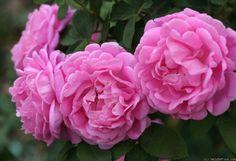 "Rose "" Baronne Prévost "" , (-) , bred by Jean Desprez (France, 1841)"