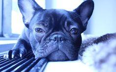 Presidents Day Festivities  #presidentsday #frenchbulldog #bulldogfrancés #frenchie #instafrenchie #instapuppy #instadog #frenchielife #nycfrenchie #frenchiegram  #bullylife #puppygram #frenchiesofinstagram #dogsofnyc #dogoftheday #dogstagram #dogsofnewyork #dogsofinstagram #dogsofinstaworld #nycdogs #puppygram #puppylove #puppiesofig #loveabully #puppiesofinstagram #mylilbuddy #mydogiscutest #instadog #instapet #instapup #instacute #instapuppy #lacyandpaws by luneybinsthefrenchie