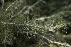 We'wey (Artemisia californica) Coastal Sagebrush
