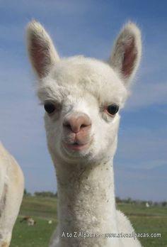 baby vicuña - Google 搜尋