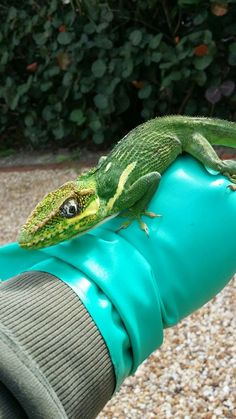 This Knight Anole is native to Cuba and can be found in South Florida.