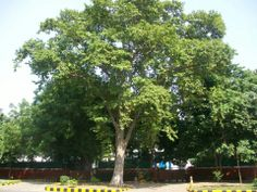 Terminalia Arjuna or Arjun Tree is sacred to the Vedic Nakshatra Swati (15 of 27)