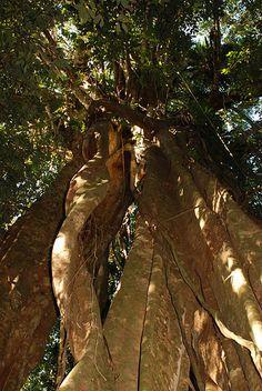 Daintree Rainforest,  Mossman, Nth QLD by ianmackenzie64, via Flickr