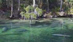 Blue Springs State Park - Florida  Manatees