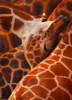 Giraffes lined up for feeding Photo by B. Kelly -- National Geographic Your Shot