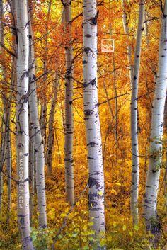 Aspen Trees Photograph - Amber Aspens by Marco Crupi Landscape Photos, Landscape Art, Forest Sunset, Autumn Forest, Dark Forest, Birch Tree Art, Tree Photography, Ocean Photography, Photography Tips