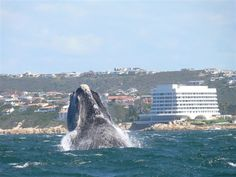 Whale watching in Plettenberg Bay, South Africa.