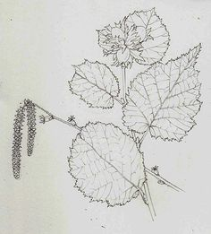 Pencil rough natural history botanical illustration by Lizzie Harper