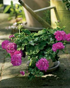Mexicana. Riippapelargonit ovat suosittuja parvekekukkia | Tunne pelargonit | Koti ja puutarha Geraniums, Plants, Plant, Planets
