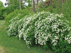 Idänvirpiangervo on aikaisin keväällä vihertyvä, monikäyttöinen ja kestävä pensas. Valkoiset kukat avautuvat kesäkuussa edellisen vuoden versoihin. Lehdistö on kauniin vaaleanvihreä, ja versot hieman mutkaiset ja nuokkuvat. Herbs, Plants, Herb, Plant, Planets, Medicinal Plants
