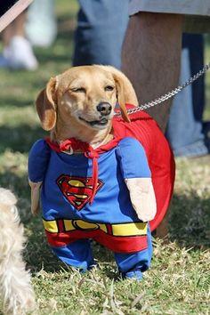 superman weiner dog