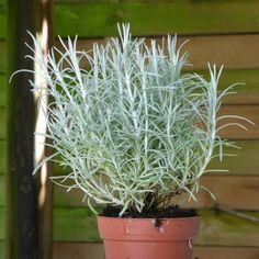 helichrysum italicum subsp siculum the helichrysum