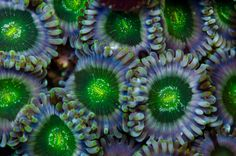 Wonkaberries | REEF2REEF Saltwater and Reef Aquarium Forum