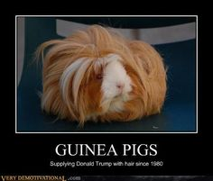 GUINEA PIGS http://chzb.gr/16hWJwk GUINEA PIGS Supplying Donal Trump with hair since 1980