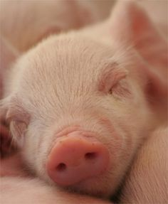 Sleeping piglet <3