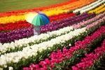 Tesselaar Tulip Festival - My Destination
