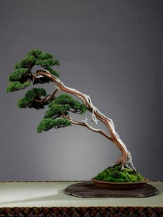 Fused Double trunk slant style. Super dense, defined foliage pads!!! Looks like a grand, old tree. My teacher reminds us not to try & create trees that look like bonsai, rather bonsai that look like TREES