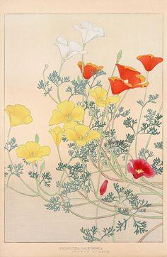Escholtzia саЩогтса от Chigusa звуковые Цветы Японии гравюры 1900