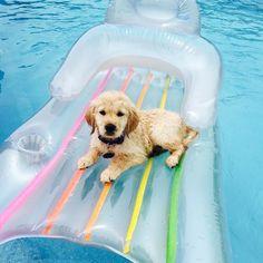 Golden Retriever Pup...Fun in the Sun!