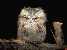 A tawney frogmouth showing off all its contempt at being woken up. Photo by Guillaume Dargaud
