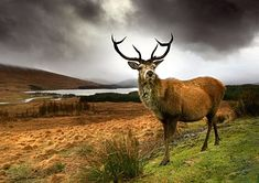 Rannoch Moor, Highlands. Rannoch Moor is a huge expanse of boggy, dramatic peat moorland in the almost exact centre of Scotland. As well as red deer, the area boasts roe deer, pheasant and capercaillie: a highly endangered species of grouse the size of a turkey.