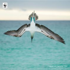 WWF #PicoftheWeek: A blue-footed booby plunge-diving at high speed, San Cristobal Island, Galapagos, Ecuador.