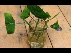 Размножение гортензии зелеными черенками