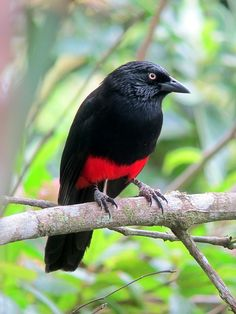 Red-bellied Grackle