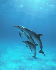 Baby Pantropical Spotted Dolphin Atlantic spotted dolphins